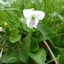 Violet Violette sp.