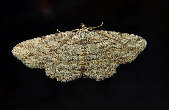 Geometridae : Larentiinae : Xanthorhoini : Xanthorhoe anaspila MEYRICK, 1891. Umina Beach (New South Wales, Australie), 25 avril 2011. Photo : Barbara Kedzierski