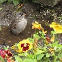 (Female) House Sparrow