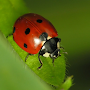 Coccinelle Water LWP APK icon