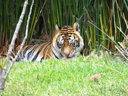 Photo safari Mauritius: Tigru in Casela Park