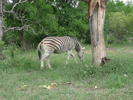 Obiective turistice Africa de Sud: zebra in safari