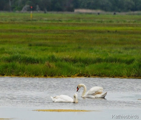 7. mute swans-kab