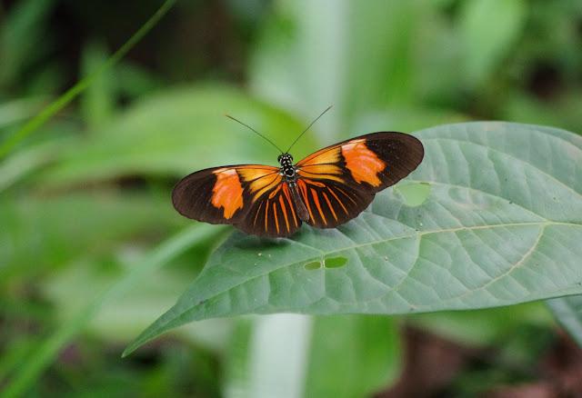 Heliconius erato erato erythrea (CRAMER, 1777). Pointe Maripa (Riv. Comté), 9 novembre 2012. Photo : J.-M. Gayman