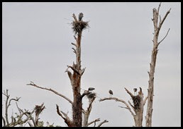 Nature - Great Blue Heron Rookery