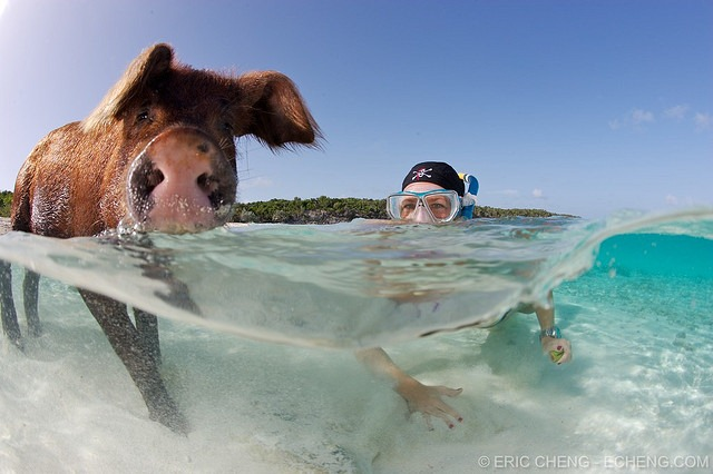 pigs-of-bahamas-7
