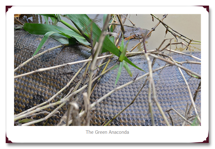 Green Anaconda Snake in the water