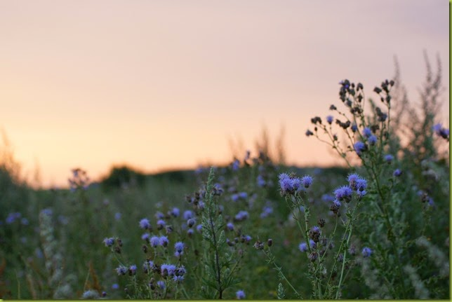 thistles at sunset