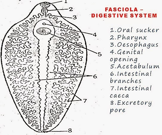 Form And Function Of Internal Features together with Digestive System In Black And White Digestive System Drawing With Label Anatomy Human Chart besides Urinary also Earthworm dissection virtual key as well Crocs. on excretory system drawing