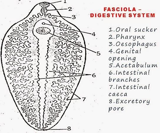 FASCIOLA HEPATICA-LIVER FLUKE STRUCTURE   BIOZOOM