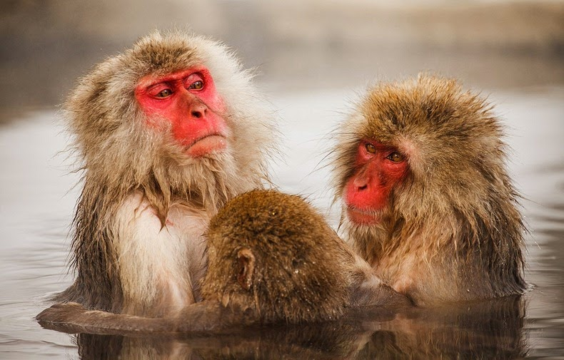 snow-monkeys-jigokudani-8