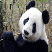 Giant Panda Sound Effects