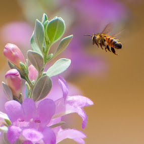 Bee in Texas Purple Sage by Bob Barrett - Animals Insects & Spiders ( sage, bee, purple sage, texas sage, wildlife, insect )