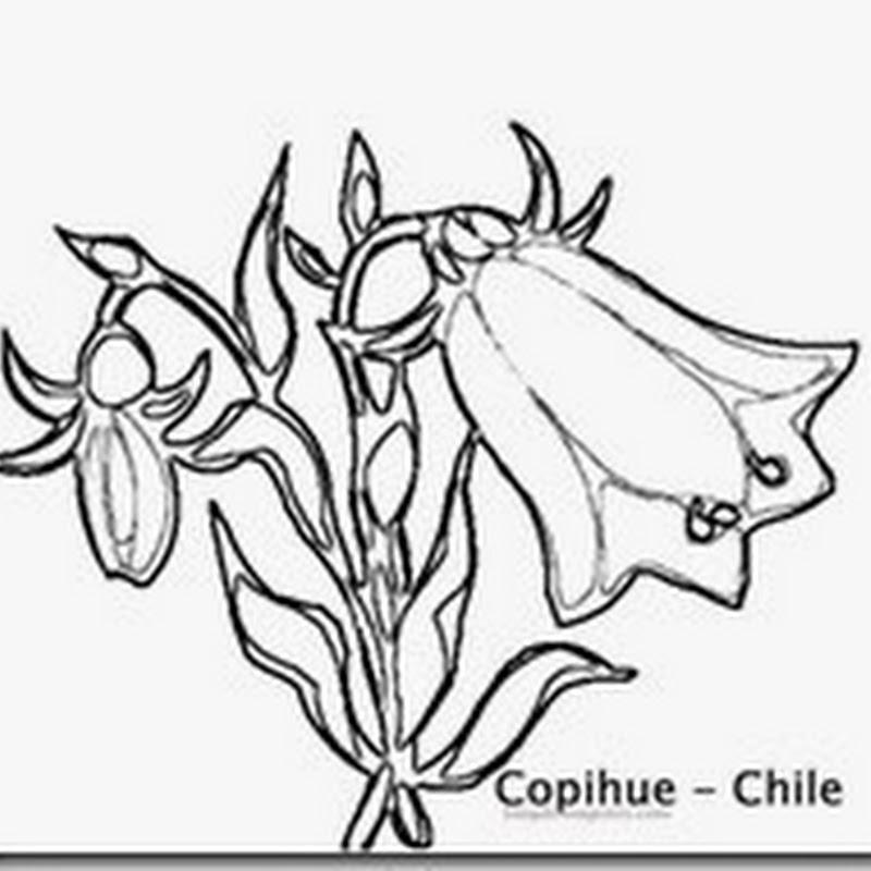 Dibujo para colorear Copihue símbolos de Chile