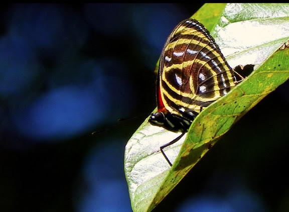 Callicore astarte selima (GUENÉE, 1872). Pitangui (MG, Brésil), 8 septembre 2013. Photo : Nicodemos Rosa