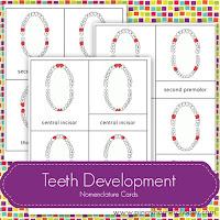 FREE Teeth Development Nomenclature Cards
