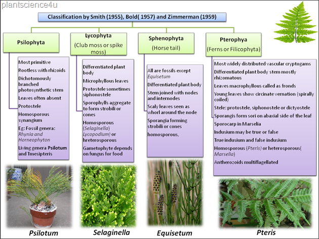 Pteridophytes classification by Smith