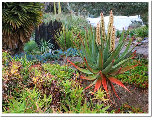 140208_RBG_Aloe-ferox-white-flowered-form_001