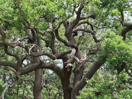 20. Stejari din Delta Dunarii.JPG