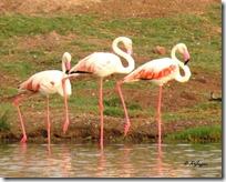 151 Flamingo ( Hanj )