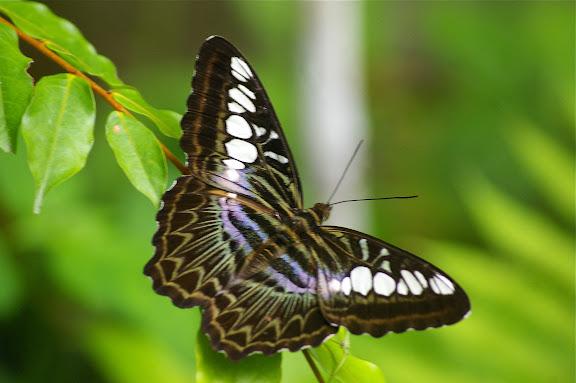 Parthenos sylvia borneensis STAUDINGER, 1889. Poring (Sabah, Malaisie, Bornéo), 31 juillet 2011. Photo : J.-M. Gayman