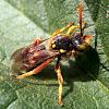 European paper wasp. Avispa cartonera