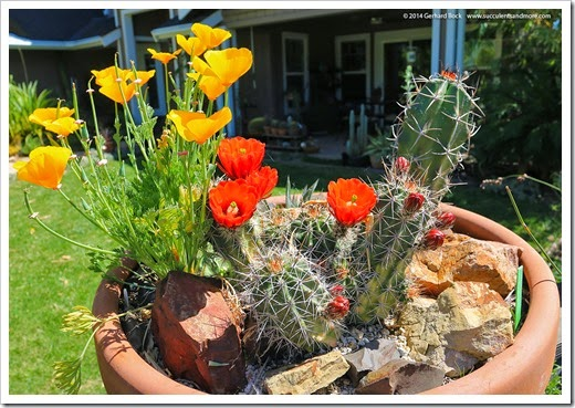 140414_claret-cup- -poppy-bowl_018