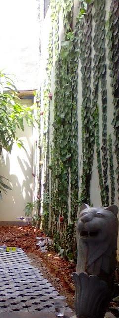 tukang taman minimalis menjual pohon dollar daun besar | tanaman merambat, nempel di tembok