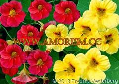 DSC03631.JPG Blommor gula orange röd krasse. Med amorism