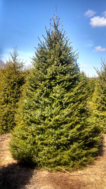 Concolor Fir Christmas Tree
