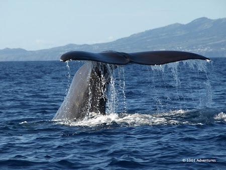 Obiective turistice Azore: balena in Azore
