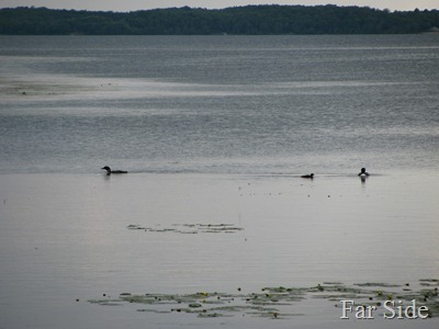 Loons on Shell Lake