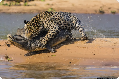 jaguar vs caiman7