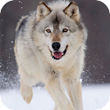 Loup Live Wallpaper icon