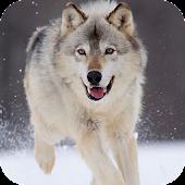 Wolf Live Wallpaper