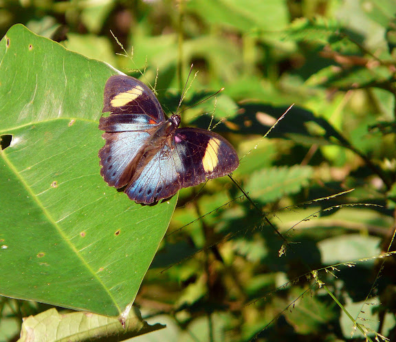 Euphaedra ceres FABRICIUS, 1775 ou E. permixtum BUTLER, 1873. Atewa Hills (Ghana), 28 décembre 2009. Photo : J. F. Christensen