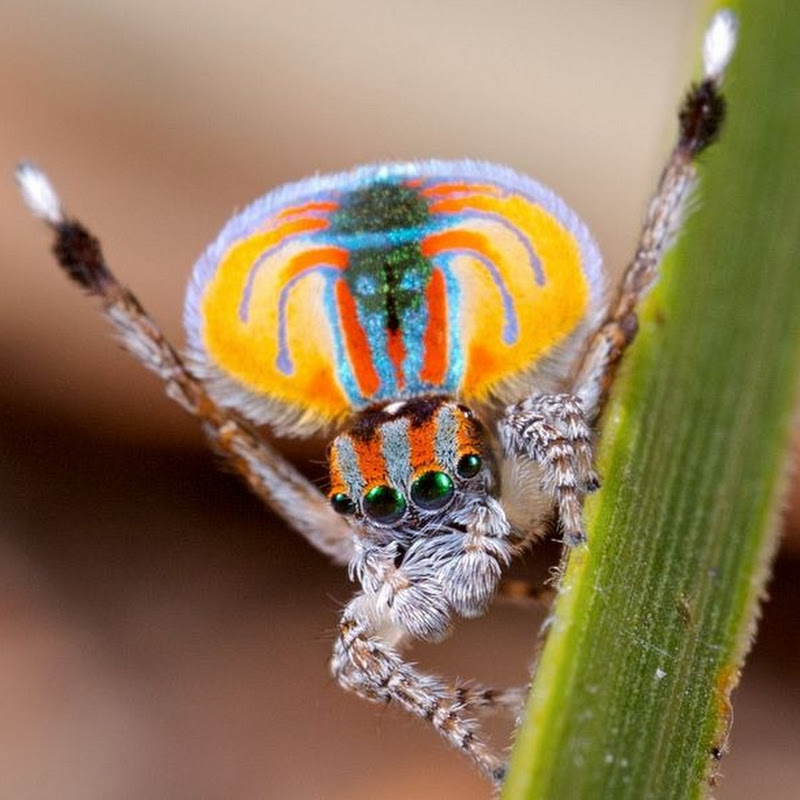Meet The Most Gorgeous 'Peacock Spider'