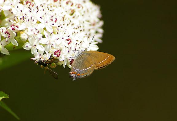 Satyrium ilicis ESPER, 1779, femelle. Les Hautes-Lisières (Rouvres, 28), 11 juin 2011. Photo : J.-M. Gayman