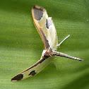 Crambid Moth.