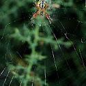 Wasp spider , Αργιόπη
