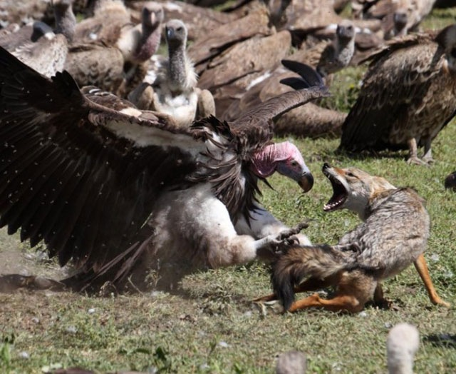 [wolf-fighting-vulture%255B6%255D.jpg]