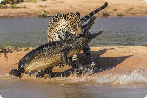 jaguar vs caiman6