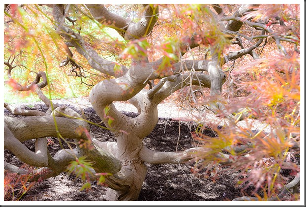 Twisted Maple trunk at Hershey Gardens