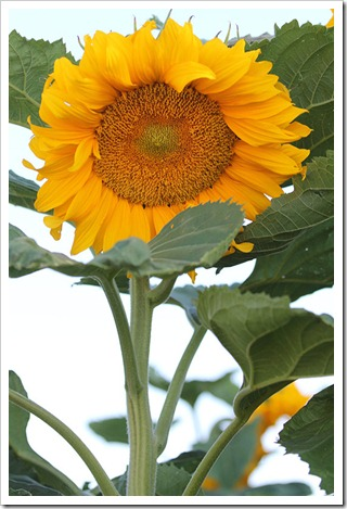 110707_sunflowers_davis_24
