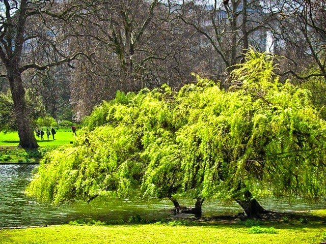 Willow in St James's Park