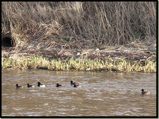 Tufted Ducks on the Mersey