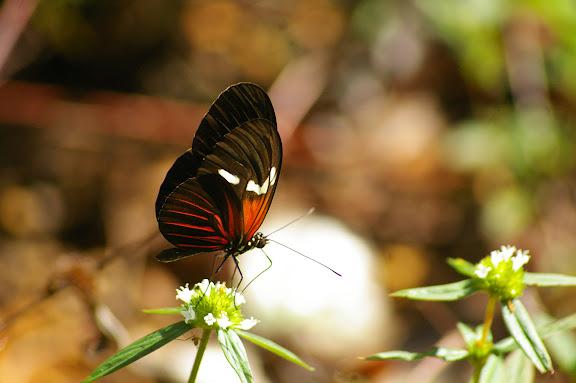 Heliconius erato leda STAUDINGER, 1896. Layon au sud d'Amazone Nature Lodge, Montagne de Kaw. 17 novembre 2011. Photo : J.-M. Gayman