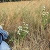 Plains Beebalm / Spotted Beebalm / Pony Beebalm