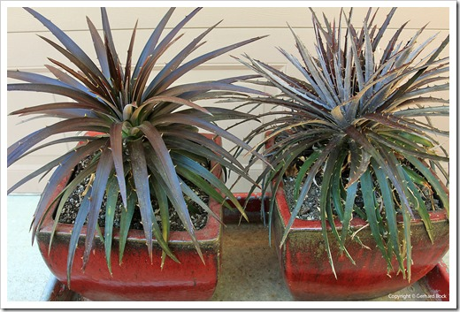 130915_Dyckia-Burgundy-Ice_05