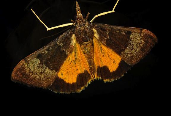 Crambidae : Pyraustinae : Uresiphita ornithopteralis GUÉNÉE, 1854. Umina Beach (NSW, Australie), 26 octobre 2011. Photo : Barbara Kedzierski